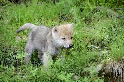 Az állatfajok védelme a természetes élőhelyüket elhagyó példányokra is kiterjed – EUB döntés